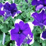Petunia Express Blue Ice - 50 Pelleted seeds